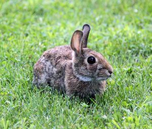 アメリカ ウサギ被害